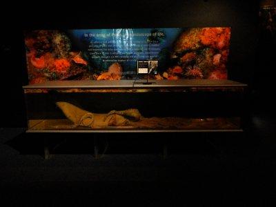 Aquarium_giant_squid.jpg