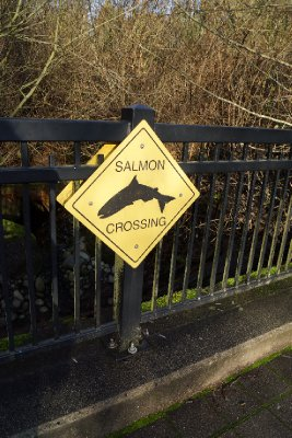 Salmon highway in Stanley Park.