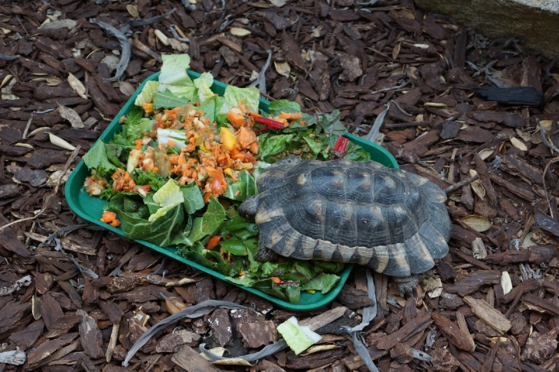 A very hungry little tortoise.