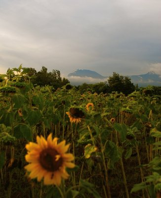Mt Kilimanjaro seen from a sunflower field