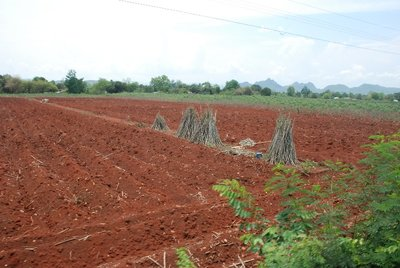 A newly ploughed field with stacks of Man Sapalang (Cassava)
