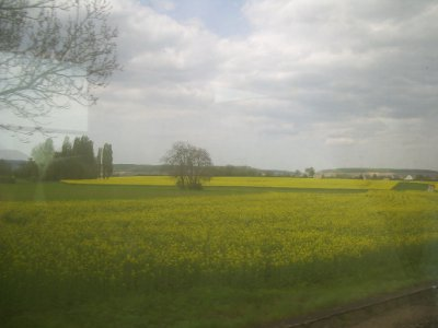 amazing fields of yellow flowers were my landscape to and from Dijon.
