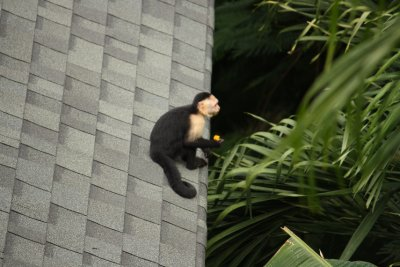 Monkey Jumping on the roof
