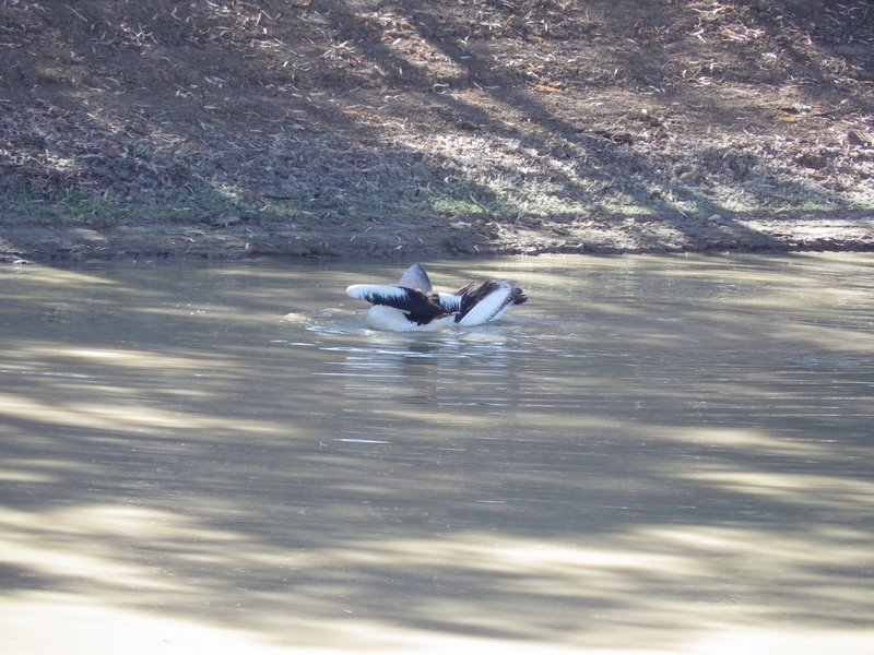 Pelicans on Coopers Creek