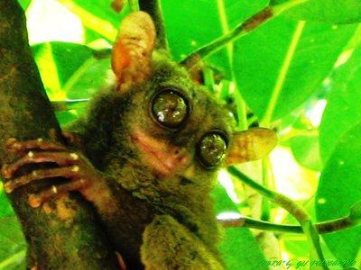 tarsier in bohol