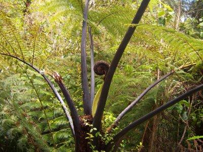 Baby Fern Tree
