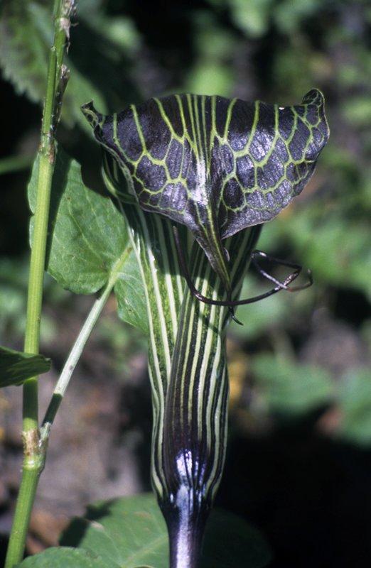 Cobra flower