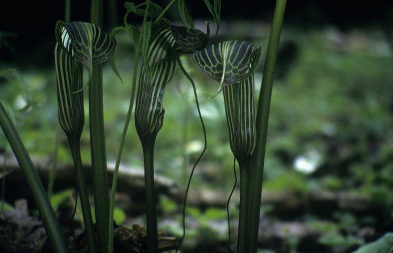 Cobra flowers