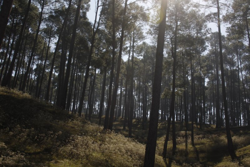 large_4_2_Pines_of_Almora.jpg