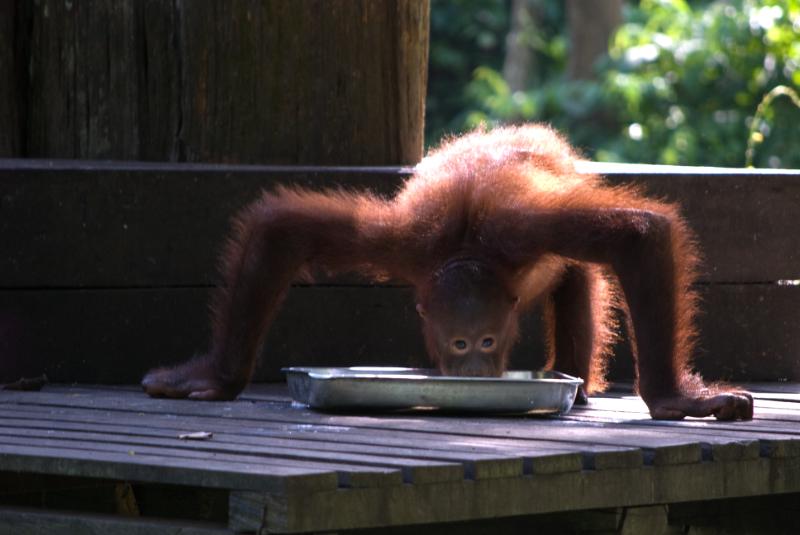 Spider Monkey Sabah