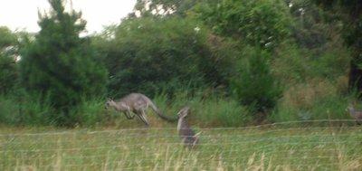 More kangaroos
