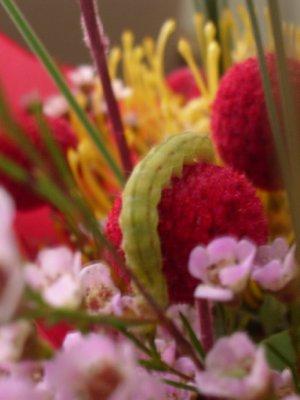 Larv på blomma