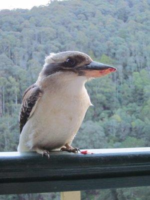 kookabura closa