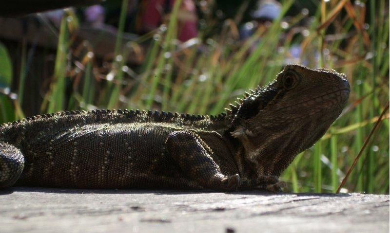 large_large_Lizard2.jpg