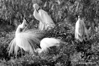 Great egrets breeding