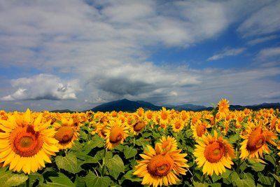 Early morning sunflowers