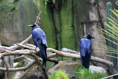 IMG_2937_-_Crows.jpg