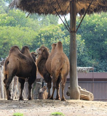 IMG_2947_-_Camels.jpg