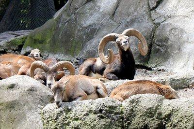 IMG_2995_-_Mt_goats.jpg