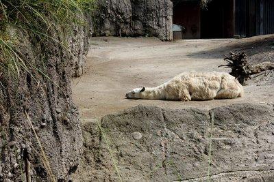 IMG_3002_-_Llama.jpg