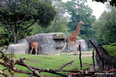 IMG_3019_-_Giraffes.jpg