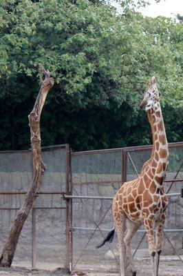 IMG_3024_-_Giraffe.jpg