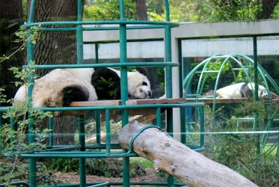 IMG_3263_-_Pandas.jpg