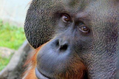 IMG_3290_-_Orangutan.jpg