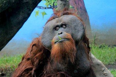 IMG_3332_-_Orangutan.jpg
