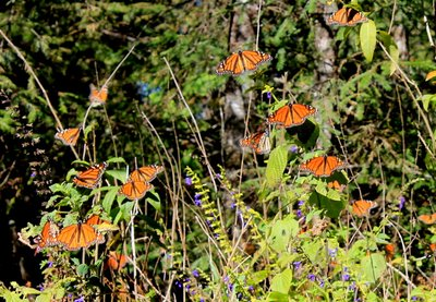 Monarch butterflies migrated from Canada to Mexico