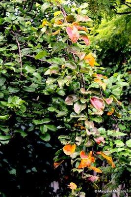 IMG_7971-_Pear_tree.jpg