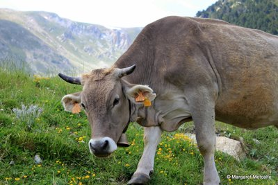 Cow with tinkling bell