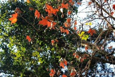 IMG_8192_-_Red_leaves.jpg