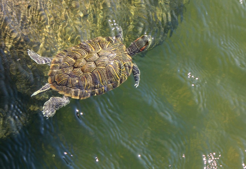 Turtle in Mexico