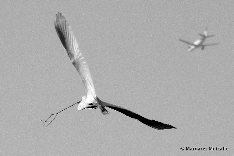 Great egret and plane