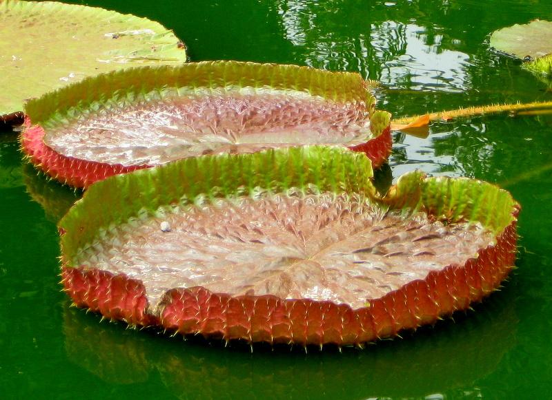 Huge water lilies