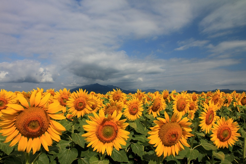 A land of sunflowers