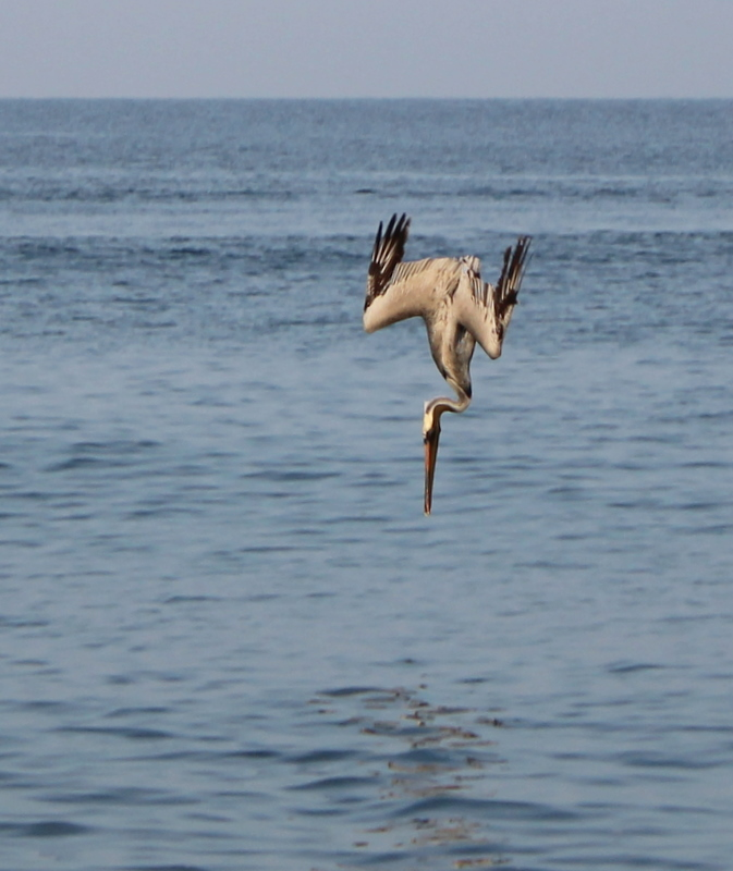 Pelican diving down to catch its breakfast