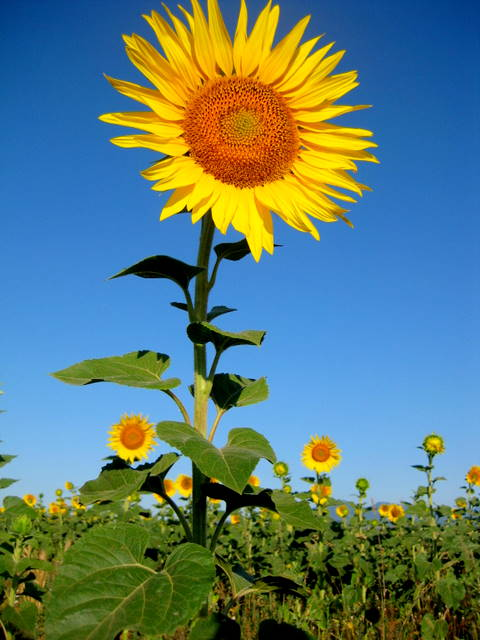 Beaming sunflower