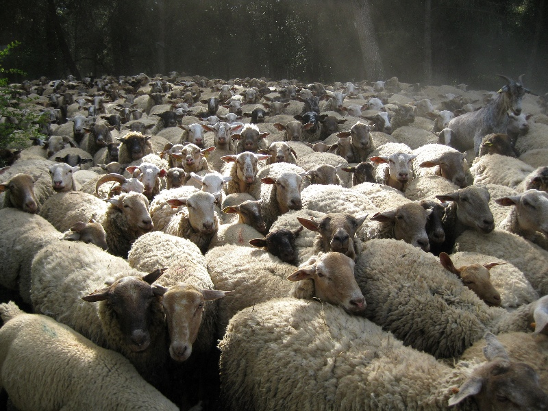 A large herd of sheep
