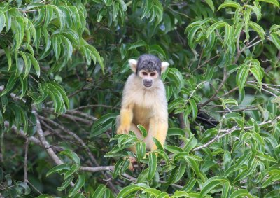 Spider Monkey in Rurrenebaque