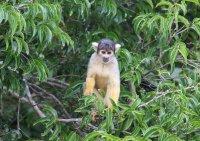Spider Monkey in Rurrenebaque