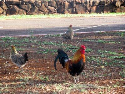 Na de Hurricane Iniki in 1992 zijn zoveel kippen ontsnapt dat zij nu overal (in het wild) rondlopen