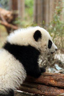 Baby Panda -1