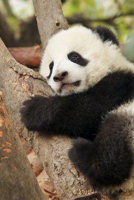 Baby Panda -2