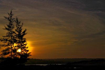 Pine Tree Evening
