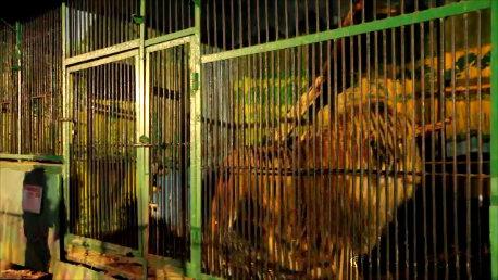 large_Lion_Picresized.jpg