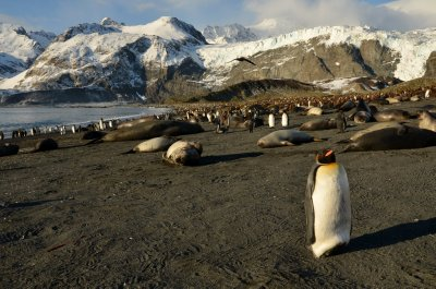 A Sleeping King Penguin