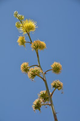 Agave BLooms