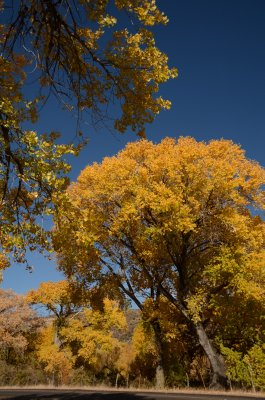 Gorgeous Orange Quaking Aspen